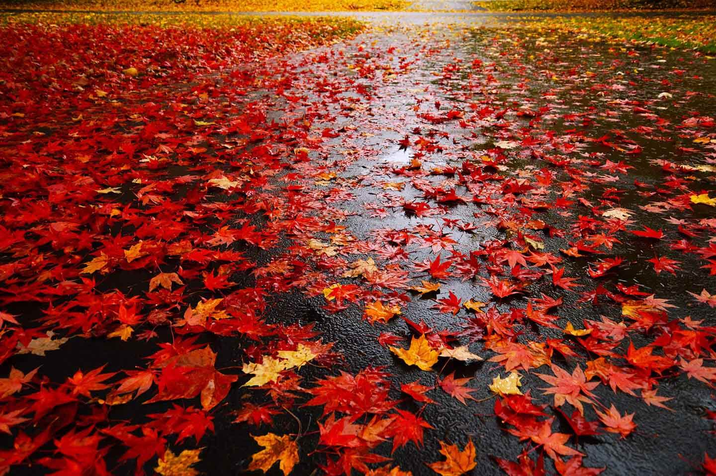 Red autumn-leaves
